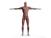 Mänsklig anatomi som visar den fulla kroppframdelen Royaltyfria Foton