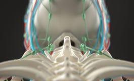 Mänsklig anatomi, unik sikt av ryggen, kotor och skalle Arkivbilder