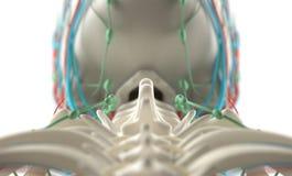 Mänsklig anatomi, unik sikt av ryggen, kotor och skalle Royaltyfri Bild
