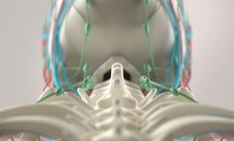 Mänsklig anatomi, unik sikt av ryggen, kotor och skalle Arkivbild
