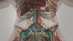 Mänsklig anatomianatomi Buk- rotation som visar olika lager av benstrukturen, det kärl- systemet, organ och det muskulösa systeme royaltyfri illustrationer