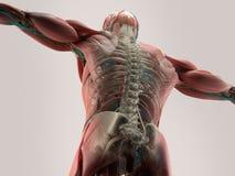 Mänsklig anatomidetalj av baksida, rygg Benstruktur, muskel På vanlig studiobakgrund royaltyfri illustrationer