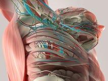Mänsklig anatomidetalj av baksida, rygg Benstruktur, muskel På vanlig studiobakgrund Mänsklig anatomidetalj av bröstkorgen och sk Royaltyfria Bilder