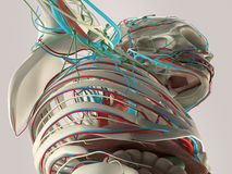 Mänsklig anatomidetalj av bröstkorgen och skuldran Benstruktur på vanlig studiobakgrund Fotografering för Bildbyråer