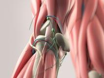 Mänsklig anatomidetalj av knäet muskel På vanlig studiobakgrund Fotografering för Bildbyråer