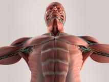 Mänsklig anatomidetalj av skallen och skuldran Benstruktur på vanlig studiobakgrund Mänsklig anatomibröstkorg från låg vinkel mus Arkivfoton