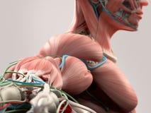 Mänsklig anatomidetalj av skuldran, armen och halsen Benstruktur, muskel, artärer På vanlig studiobakgrund Royaltyfria Bilder