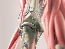 Mänsklig anatomidetalj av skuldran, armen och halsen Benstruktur, muskel, artärer På vanlig studiobakgrund Mänsklig anatomidetalj stock illustrationer