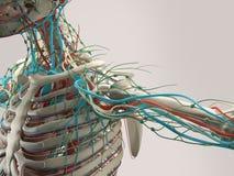 Mänsklig anatomidetalj av skuldran Benstruktur på vanlig studiobakgrund Royaltyfri Foto