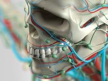 Mänsklig anatomidetalj av skuldran Benstruktur på vanlig studiobakgrund Mänsklig anatomidetalj av baksida, rygg muskel På vanligt Royaltyfria Bilder