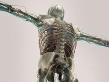 Mänsklig anatomidetalj av skuldran Benstruktur på vanlig studiobakgrund Mänsklig anatomidetalj av baksida, rygg muskel På vanligt Royaltyfri Foto