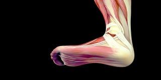 Mänsklig anatomiillustration för manlig kropp av den mänskliga foten med synliga muskler royaltyfri illustrationer