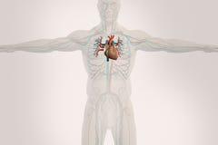 Mänsklig anatomiröntgenstrålesikt av det cirkulations- systemet, på ljus bakgrund Arkivfoton