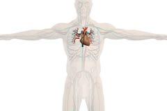 Mänsklig anatomiröntgenstrålesikt av det cirkulations- systemet, vanlig vit bakgrund Royaltyfri Bild
