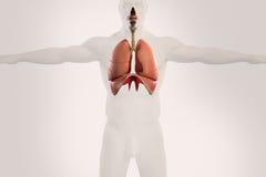 Mänsklig anatomiröntgenstrålesikt av det respiratoriska systemet, på ljus bakgrund Fotografering för Bildbyråer