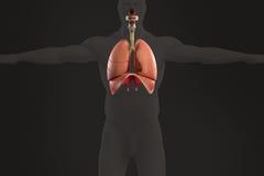 Mänsklig anatomiröntgenstrålesikt av det respiratoriska systemet, på mörk bakgrund Arkivbild