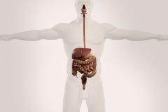 Mänsklig anatomiröntgenstrålesikt av digestivkexsystemet, på ljus bakgrund Royaltyfri Fotografi