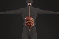 Mänsklig anatomiröntgenstrålesikt av digestivkexsystemet, på mörk bakgrund Royaltyfria Foton