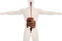 Mänsklig anatomiröntgenstrålesikt av digestivkexsystemet, på vanlig vit bakgrund Arkivfoto