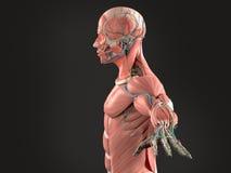 Mänsklig anatomisidosikt av huvudet på mörk bakgrund Royaltyfri Fotografi
