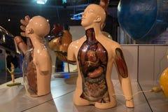 mänsklig anatomisk modell, biologivetenskap arkivbild