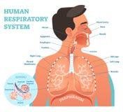 Mänsklig anatomisk vektorillustration för respiratoriskt system, medicinskt utbildningstvärsnittdiagram med lungor och alveoler royaltyfri foto