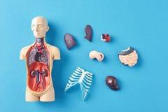 Mänsklig anatomiskyltdocka med inre organ på en blå bakgrund arkivfoto