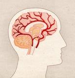Mänsklig anatomiteckning - profilhuvud med BRAIN Arteries royaltyfri bild