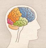 Mänsklig anatomiteckning - profilhuvud med BRAIN Lobes arkivbilder