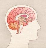 Mänsklig anatomiteckning - profilhuvud med det BRAIN Sagittal avsnittet arkivfoton