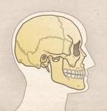 Mänsklig anatomiteckning - profilhuvud med SKALLEN royaltyfri fotografi