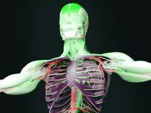 Mänsklig anatomitorso Royaltyfri Fotografi