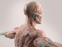 Mänsklig anatomivisningframsida, huvud, skuldror och baksida Royaltyfria Bilder
