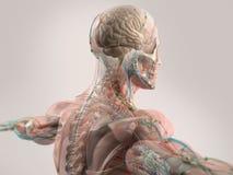 Mänsklig anatomivisningframsida, huvud, skuldror och baksida Royaltyfri Fotografi
