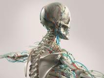 Mänsklig anatomivisningframsida, huvud, skuldror och baksida Fotografering för Bildbyråer