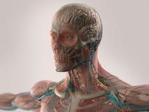 Mänsklig anatomivisningframsida, huvud, skuldror och bröstkorg Royaltyfri Fotografi