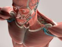 Mänsklig anatomivisningframsida, huvud, skuldror och bröstkorg Arkivbilder