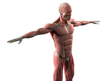 Mänsklig anatomivisningframsida, huvud, skuldror och muskulöst system för torso Arkivfoton