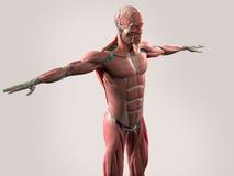 Mänsklig anatomivisningframsida, huvud, skuldror och torso Royaltyfri Foto