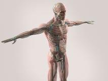 Mänsklig anatomivisningframsida, huvud, skuldror och torso Arkivbild