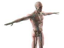 Mänsklig anatomivisningframsida, huvud, skuldror och torso Arkivbilder