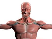 Mänsklig anatomivisninghuvud, skuldror och torso Royaltyfria Foton