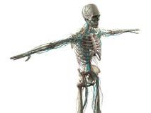 Mänsklig anatomivisninghuvud, skuldror och torso Fotografering för Bildbyråer