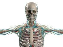 Mänsklig anatomivisninghuvud, skuldror och torso, benstruktur Arkivfoton