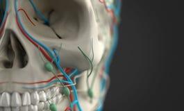 Mänsklig anatomivisningnärbild av skallen Royaltyfria Bilder