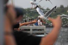 Mänsklig hand som matar fågeln Mänsklig hand som matar fågeln Hållande mat för hand för seagulls en fågel Arkivfoton