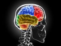Mänsklig hjärna Arkivbilder