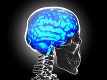 Mänsklig hjärna Arkivfoton