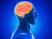 Mänsklig hjärna Arkivfoto