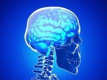 Mänsklig hjärna Royaltyfria Foton